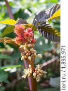 Купить «Плоды клещевины. Макро», фото № 1895971, снято 6 августа 2010 г. (c) Катерина Макарова / Фотобанк Лори