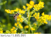 Купить «Насекомое на цветах золотарника», фото № 1895991, снято 6 августа 2010 г. (c) Катерина Макарова / Фотобанк Лори