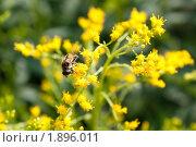 Купить «Насекомое на цветах золотарника», фото № 1896011, снято 6 августа 2010 г. (c) Катерина Макарова / Фотобанк Лори