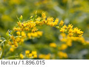 Купить «Цветение Эстрагона», фото № 1896015, снято 6 августа 2010 г. (c) Катерина Макарова / Фотобанк Лори