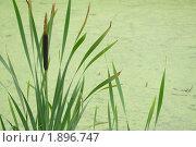 Купить «Рогоз на фоне воды, покрытой ряской», фото № 1896747, снято 7 августа 2010 г. (c) Ольга Остроухова / Фотобанк Лори