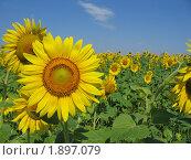 Купить «Подсолнух в поле», фото № 1897079, снято 25 июля 2010 г. (c) Евгения Плешакова / Фотобанк Лори