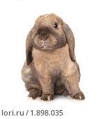 Купить «Карликовый вислоухий кролик породы Баран», фото № 1898035, снято 4 августа 2010 г. (c) Юлия Машкова / Фотобанк Лори
