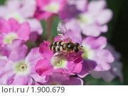 Купить «Насекомое на цветах вербены», эксклюзивное фото № 1900679, снято 24 июля 2010 г. (c) Шичкина Антонина / Фотобанк Лори