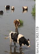 Купить «Коровы в жаркое лето», фото № 1903119, снято 12 августа 2010 г. (c) Михаил Рыбачек / Фотобанк Лори