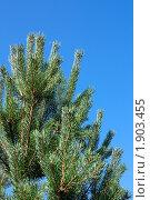 Купить «Сосновые ветви на фоне голубого неба», фото № 1903455, снято 13 августа 2010 г. (c) Катерина Макарова / Фотобанк Лори