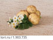 Цветы и клубни картофеля на мешковине. Стоковое фото, фотограф Шичкина Антонина / Фотобанк Лори