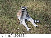 Мадагаскарский лемур. Стоковое фото, фотограф Елена Снопова / Фотобанк Лори