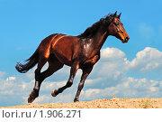 Купить «Гнедая лошадь скачет галопом», фото № 1906271, снято 23 апреля 2010 г. (c) Титаренко Елена / Фотобанк Лори