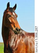 Купить «Портрет гнедой лошади на фоне неба», фото № 1906287, снято 12 мая 2010 г. (c) Титаренко Елена / Фотобанк Лори