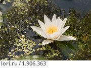 Купить «Белая водяная лилия», фото № 1906363, снято 24 июля 2010 г. (c) Владимир Фаевцов / Фотобанк Лори