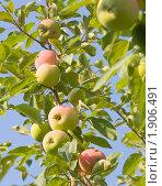 Купить «Летний сорт яблок - мельба», фото № 1906491, снято 17 июля 2010 г. (c) Макарова Елена / Фотобанк Лори