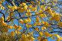 Желтые кленовые листья на фоне голубого неба, эксклюзивное фото № 1908523, снято 12 октября 2008 г. (c) Ольга Визави / Фотобанк Лори