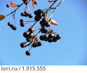 Ветка черноплодной рябины. Стоковое фото, фотограф Кашкарева Светлана / Фотобанк Лори