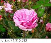 Розовая роза. Стоковое фото, фотограф Юлия Киреева / Фотобанк Лори