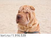 Купить «Шарпей», фото № 1916539, снято 17 августа 2010 г. (c) Андрей Петраковский / Фотобанк Лори