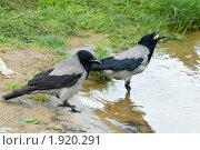 Купить «Ворона серая, Corvus cornix, Hooded», фото № 1920291, снято 2 июня 2006 г. (c) Василий Вишневский / Фотобанк Лори