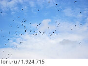 Стая ворон летит на фоне голубого неба в облаках. Стоковое фото, фотограф ac / Фотобанк Лори