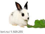 Купить «Черно-белый крольчонок ест свекольный лист», фото № 1929255, снято 6 августа 2010 г. (c) Васильева Татьяна / Фотобанк Лори