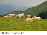 Белые коровы, пасущиеся в горах. Стоковое фото, фотограф Stjarna / Фотобанк Лори