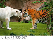 Купить «Тигр альбинос рычит на тигрицу», фото № 1935367, снято 20 июня 2010 г. (c) Васильева Татьяна / Фотобанк Лори
