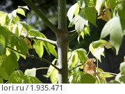 Клён ясенелистный. Стоковое фото, фотограф Сергей Лукин / Фотобанк Лори