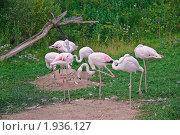 Купить «Фламинго розовый. (Phoenicopterus roseus)», эксклюзивное фото № 1936127, снято 10 июля 2010 г. (c) Алёшина Оксана / Фотобанк Лори