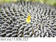 Фон из семян подсолнуха и цветка. Стоковое фото, фотограф Игнатьева Алевтина / Фотобанк Лори