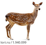 Купить «Олень пятнистый, Sika Deer, Cervus nippon», фото № 1940099, снято 3 сентября 2009 г. (c) Василий Вишневский / Фотобанк Лори