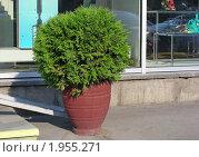 Туя западная, или жизненное дерево (лат. Thúja occidentális) Стоковое фото, фотограф lana1501 / Фотобанк Лори