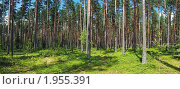 Купить «Сосновый лес», фото № 1955391, снято 23 января 2019 г. (c) Вадим Кондратенков / Фотобанк Лори