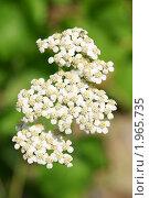 Маленькие белые цветочки. Стоковое фото, фотограф Александр Герасименко / Фотобанк Лори