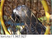 Попугай за решеткой. Стоковое фото, фотограф Дарья Фролова / Фотобанк Лори