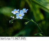 Купить «Незабудка болотная (Myosotis palustris)», фото № 1967995, снято 15 июля 2010 г. (c) Кондорский Дмитрий / Фотобанк Лори