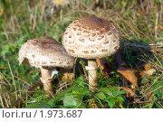 Купить «Поганки», фото № 1973687, снято 4 октября 2009 г. (c) Юрий Брыкайло / Фотобанк Лори