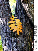 Осенний желтый лист рябины упал с дерева. Стоковое фото, фотограф светлана шевнина / Фотобанк Лори