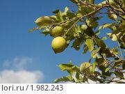 Лимонное дерево. Стоковое фото, фотограф Александр Комлев / Фотобанк Лори