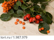 Купить «Рябина и шиповник на светлом фоне», фото № 1987979, снято 16 сентября 2010 г. (c) Владимир Фаевцов / Фотобанк Лори