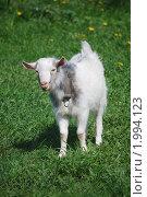 Купить «Белый козленок на зеленом поле», фото № 1994123, снято 14 мая 2010 г. (c) Анастасия Некрасова / Фотобанк Лори