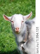 Купить «Портрет бело-серой козочки», фото № 1994131, снято 14 мая 2010 г. (c) Анастасия Некрасова / Фотобанк Лори