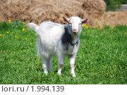 Купить «Белый козленок на зеленом поле», фото № 1994139, снято 14 мая 2010 г. (c) Анастасия Некрасова / Фотобанк Лори