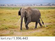 Купить «Африканский слон в национальном парке Амбосели, Кения», фото № 1996443, снято 23 августа 2010 г. (c) Знаменский Олег / Фотобанк Лори