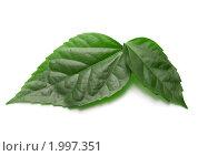 Купить «Зеленые листья», фото № 1997351, снято 5 февраля 2009 г. (c) Jan Jack Russo Media / Фотобанк Лори
