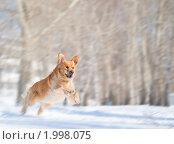 Купить «Собака породы золотой ретривер», фото № 1998075, снято 28 марта 2010 г. (c) Андрей Павлов / Фотобанк Лори