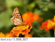 Бабочка на цветке. Стоковое фото, фотограф Олег Храмочкин / Фотобанк Лори