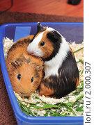 Купить «Две морские свинки», фото № 2000307, снято 26 сентября 2010 г. (c) Елизавета Светилова / Фотобанк Лори
