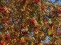 Осенняя рябина на фоне яркого синего неба, фото № 2000923, снято 26 сентября 2010 г. (c) Алексей Пантелеев / Фотобанк Лори