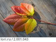 Купить «Осенний лист винограда на столе. Девичий виноград пятилисточковый (Parthenocissus quinquefolia)», эксклюзивное фото № 2001043, снято 25 сентября 2010 г. (c) Александр Алексеев / Фотобанк Лори