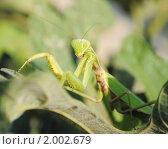 Купить «Богомол обыкновенный (Mantis religiosa)», эксклюзивное фото № 2002679, снято 9 августа 2010 г. (c) Красилов Игорь / Фотобанк Лори