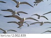 Купить «Стая морских чаек на охоте на фоне неба», фото № 2002839, снято 3 мая 2008 г. (c) Ольга Липунова / Фотобанк Лори